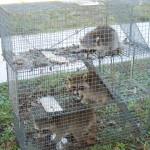 3 trapped raccoons