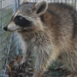 female raccoon in trap