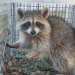 Raccoon in cage trap