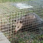 Possum 058
