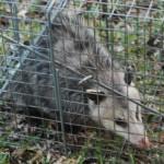 Possum 060