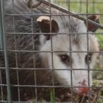 Possum 062