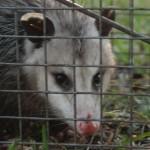 Possum 066