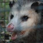 Possum 070