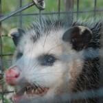 Possum 073