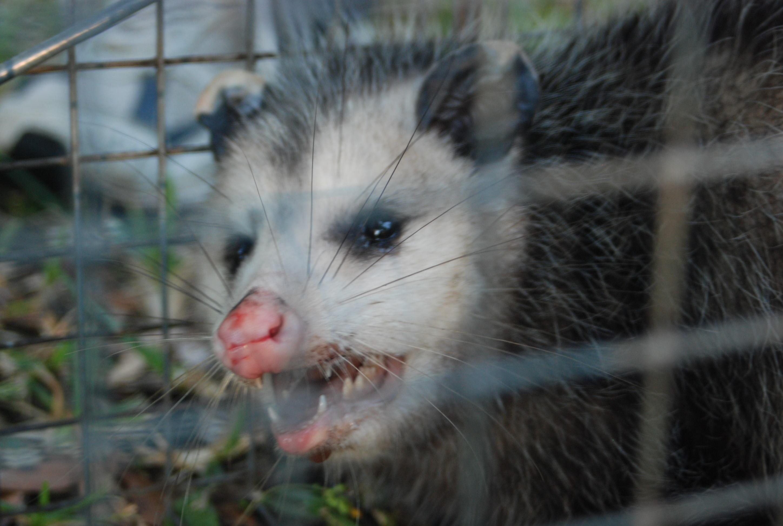 Possum 075