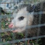 Possum 076