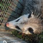 Possum 077