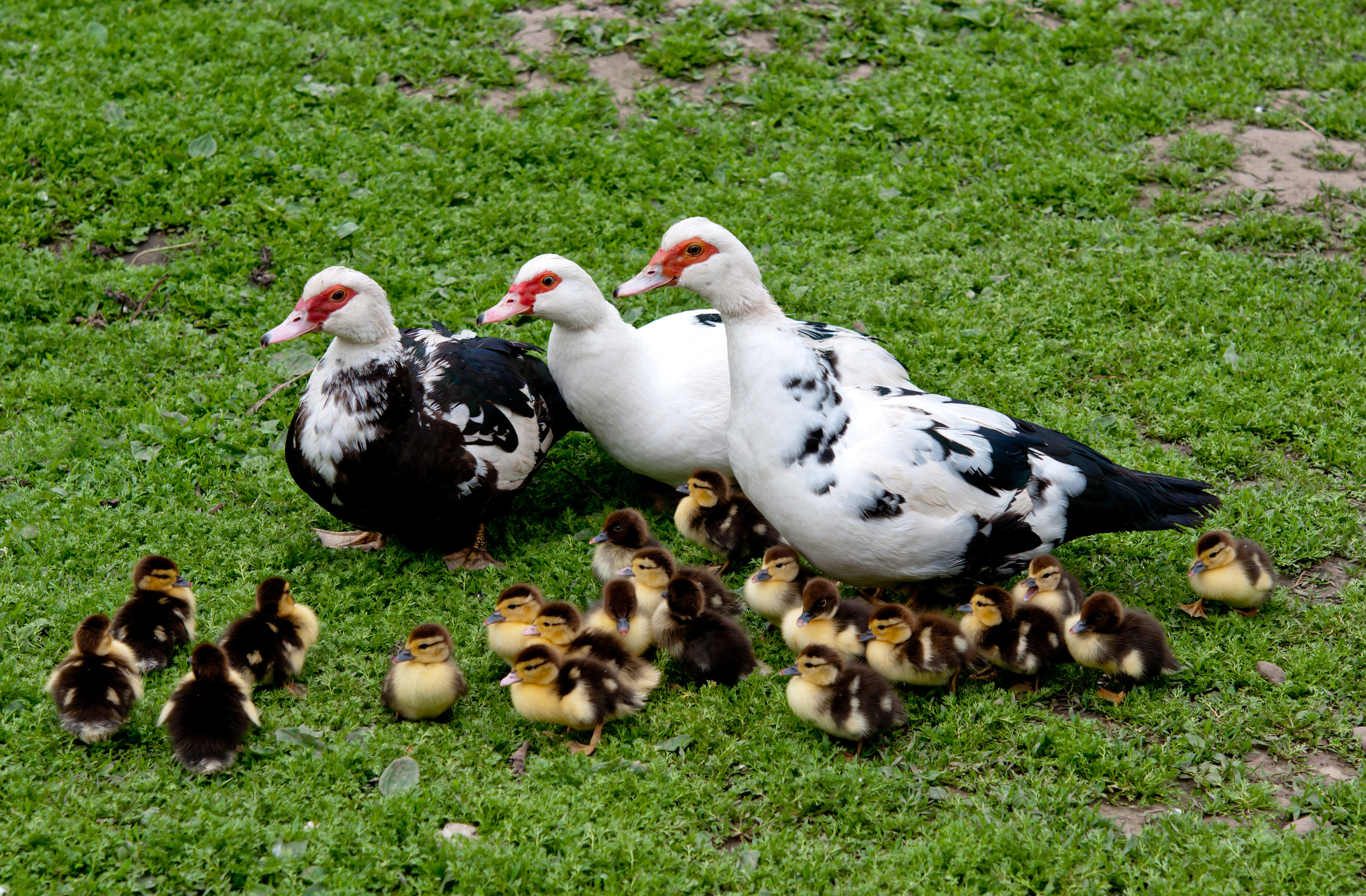 my wife had ducks when she was a little kid - muscovies.  they make great pets - they're friendly and loyal like dogs, they love attention and being pet - her favorite would wait for her to come home from school on a treestump by her house and would do a crazy stomping happydance when she saw my wife get off the bus.  there are a few downsides - they have cloacas, not sphincters, so they do not have the capacity to 'hold in' any waste - when they have to shit, it just happens right there no matter where they are or what they're doing.    they also get weird about their eggs - they will sit on their unfertilized eggs until they rot and they don't like it when you take them away, so they'll try to pick hiding spots further and further away to lay them, which can leave them vulnerable to predators and they have all the predators because  everything eats ducks.