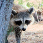 raccoon 2 national