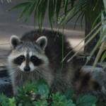 raccoon header