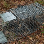 Armadillo caught in trap