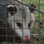Opossum Trapped-1