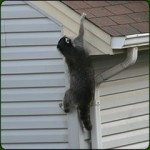 Raccoons in the Attic