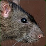 Rats Mice Removal and Control