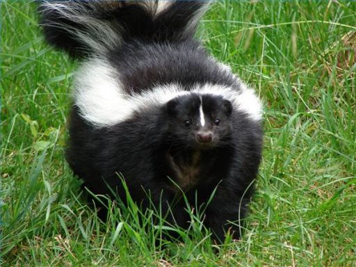 Columbus OH Pest Skunk Control Removal
